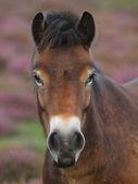 Exmoor Pony Head Shot — Stock Photo
