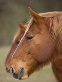 Iki at başı — Stok fotoğraf