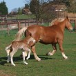 Stock Photo: Trotting Mare and Foal