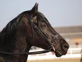Black Horse Headshot In Bridle — Stock Photo