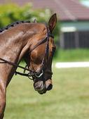 Head Shot of Horse Doing Dressage — Stock Photo