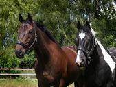 Head Shot of Two Horses — Stock Photo