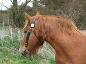 Suffolk Punch Horse Head Shot — Stock Photo
