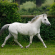 Stock Photo: Grey Horse Trotting Free