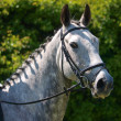 Head Shot of Horse Doing Dressage — Stock Photo
