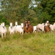 Stock Photo: Herd Of Horses
