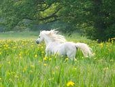 Beutiful Horse Running — Stock Photo