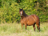 Welsh Stallion Pony In Paddock — Stock Photo