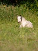 Pony Laying Down — Foto Stock