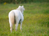 Grey Pony In Paddock — Stock Photo