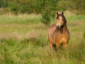Beautiful Dun Pony — Stock Photo