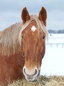 Snowy Horse Head Shot — Stock Photo