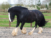 Trotting Shire Horse — Stock Photo