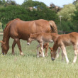 Mare with Foals — Stock Photo