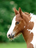 Foal Headshot — Stock Photo