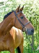 Cabeza de caballo — Foto de Stock