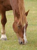 Cavallo al pascolo — Foto Stock