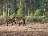Wild Ponies — Stock Photo