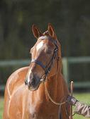 лошадь в уздечку headshot — Стоковое фото