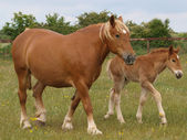 Mare and Foal — Stock Photo