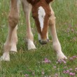 Stock Photo: Foal In Flowers