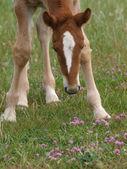 Foal In Flowers — Stock Photo