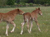 Playing Foals — Stock Photo