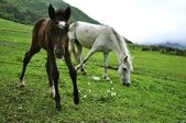 Horses in Suaneti — Photo