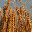 Wheat barley and oat — Stock Photo
