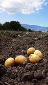 Gospodarstwie ziemniaków w polu — Zdjęcie stockowe