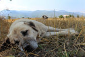 Anatolian sheep dog — Stock Photo