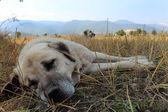 Anatolian sheep dog — Stock Photo