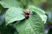 Colorado potato beetle in the field DECEMLİNEATA — Stock Photo