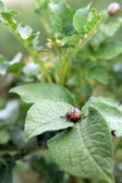 Colorado potato beetle in the field DECEMLİNEATA — Stock Photo