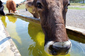 Cow drinking water — Stock Photo