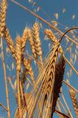 Wheat barley and oat — Stock Photo