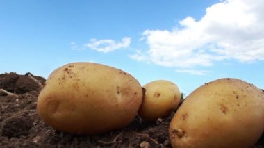 Potato farm in the field — Stock Video