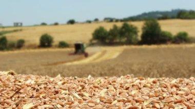 Combine harvester working in wheat field — Stock Video