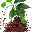 Coffee beans with fresh coffee arabica branch isolated on white — Stock Photo
