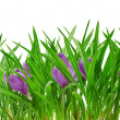 A group of blooming crocus flowers isolated on white - Stock Photo