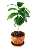 Young potted coffee arabica plant isolated on white — Stock Photo