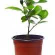 Small potted citrus tree plant, isolated on white — Stock Photo