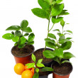 Royalty-Free Stock Photo: Group of several young potted citrus plants isolated on white