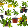 Group of young potted citrus sprouts isolated on white — Stock Photo #13550715