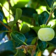 Immature persimmon hanging on a tree — Stock Photo