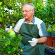 Senior man, gardener cares for citrus plants in greenhouse — Stock Photo #13551204