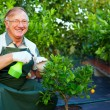 Happy senior man, gardener cares for citrus plants in greenhouse — Stock Photo #13551313