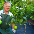 Happy senior man, gardener cares for grapefruit plants in greenhouse — Stock Photo #13551333