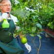 Senior man, gardener cares for grapefruit plants in greenhouse — Stock Photo #13551334