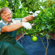 Happy mature man, gardener cares for grapefruit in greenhouse — Stock Photo